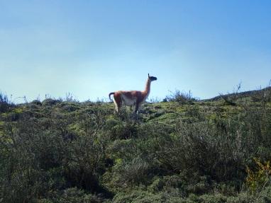 Le guanaco, camélidé proche du lama, est un animal sauvage extrêmement répandu.