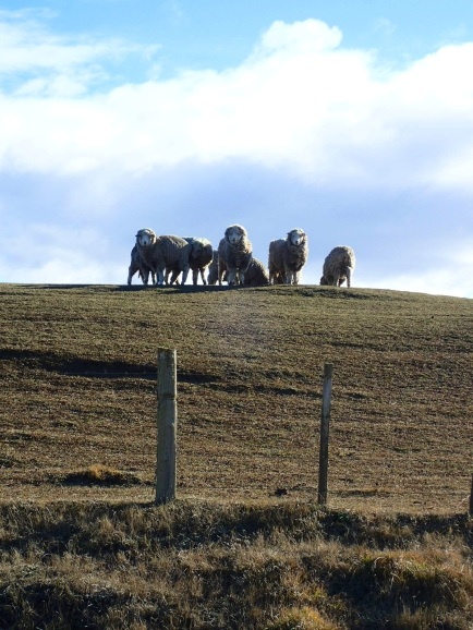 Les moutons paissent un peu partout en liberté dans la steppe.