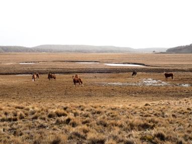 Élevage de chevaux d'une estancia.