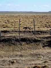Le renard gris d'Argentine fait partie des quelques prédateurs qui vivent dans la steppe.