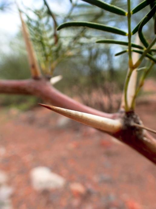 Les épines parfois impressionnantes de l'arbre Algarrobo, souvent présent sous forme d'arbuste, et qui empêche toute tentative de couper à travers terrain en dehors de la route