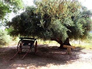 Présentation de la culture de l'olive dans un petit musée local