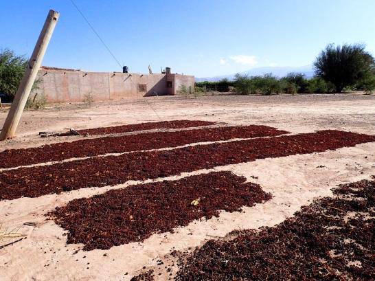 Raisins en train de sécher au soleil, la culture viticole étant très répandue dans la région, tant pour produire du vin que des raisins secs