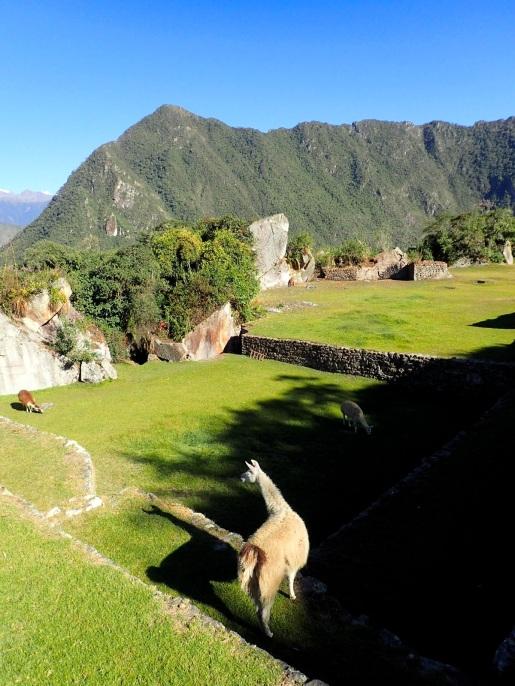 Les lamas qui ont été introduits ici pour la photo se trouvent en réalité à une altitude trop basse, ce qui leur provoque des problèmes de santé