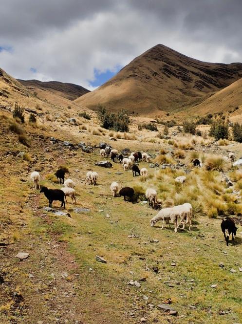 La vallée qui descend vers Jancapampa est une zone de paturage privilégiée pour les troupeaux du village